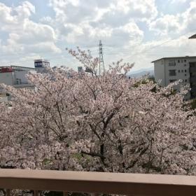 室内からの桜VIEW!